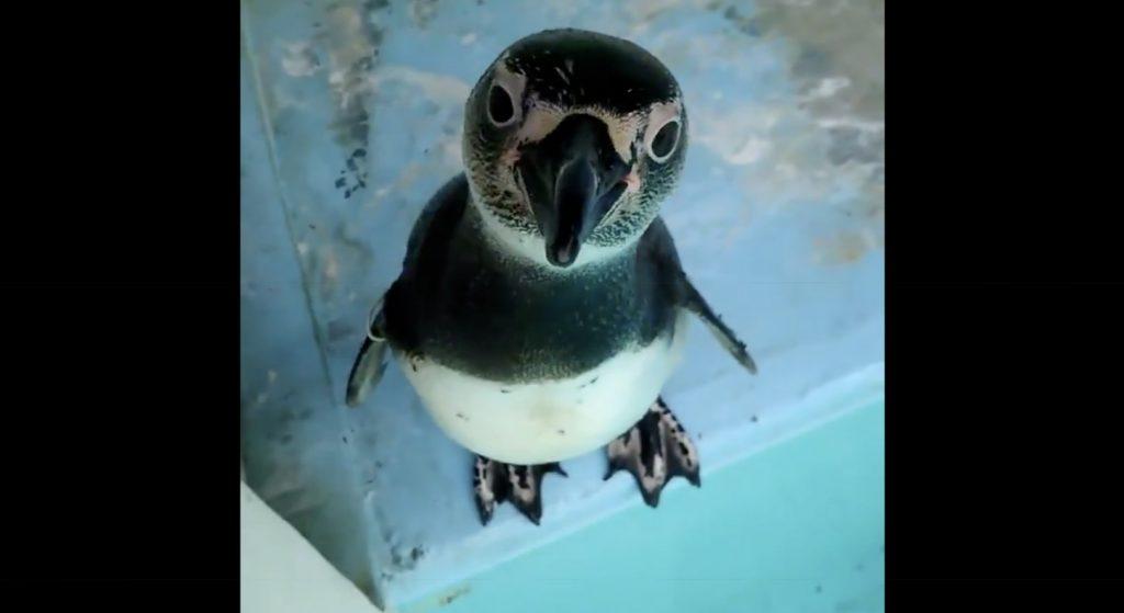 【山梨】スマホに興味津々のペンギンの悶絶級の可愛さに癒される人続出!