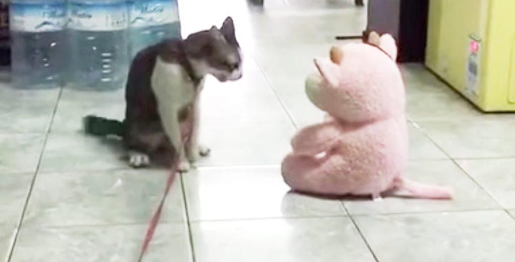猫が新入りのぬいぐるみに光速バックドロップ!その後のしたり顔が可愛い笑