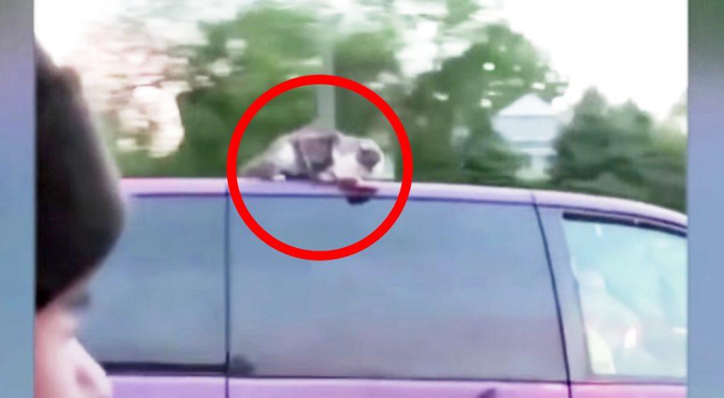時速100km近くで走る車の屋根に猫がしがみ付いていたと話題に!運転手さんも気付いていない。。