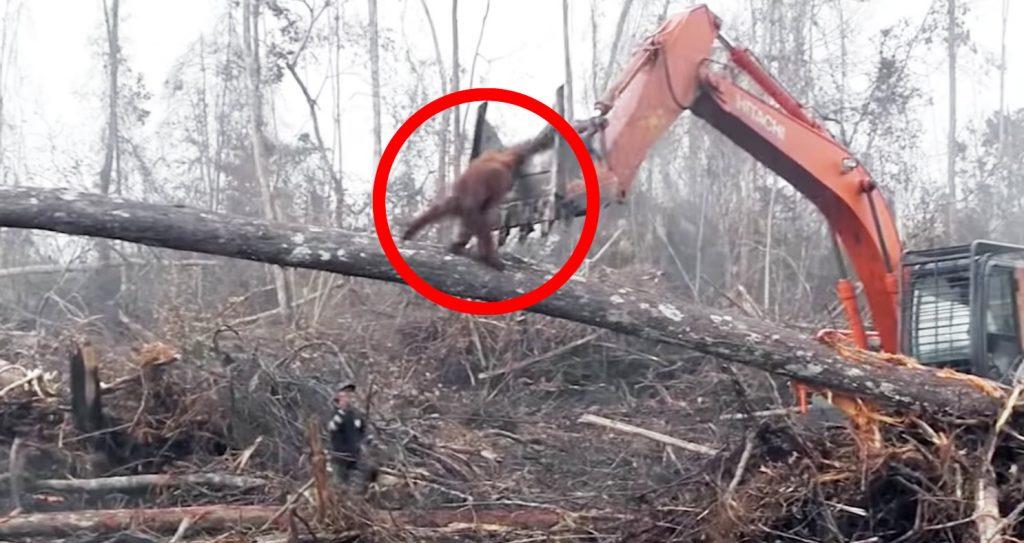 オランウータンが、森を守ろうと重機相手に必死に抵抗する姿に胸が締め付けられる