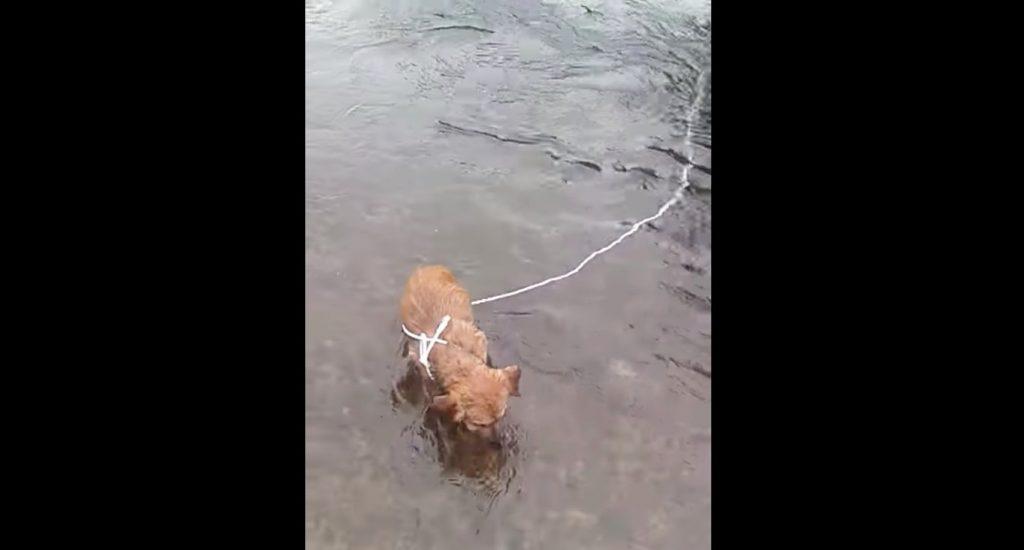 冷たい川の岩につながれた子犬を、通りかかったサイクリストが救助する!