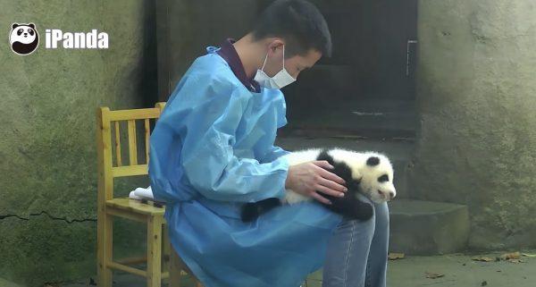 仕事をしたい飼育員さんから離れない甘えん坊の赤ちゃんパンダ、仕事机になってしまう笑