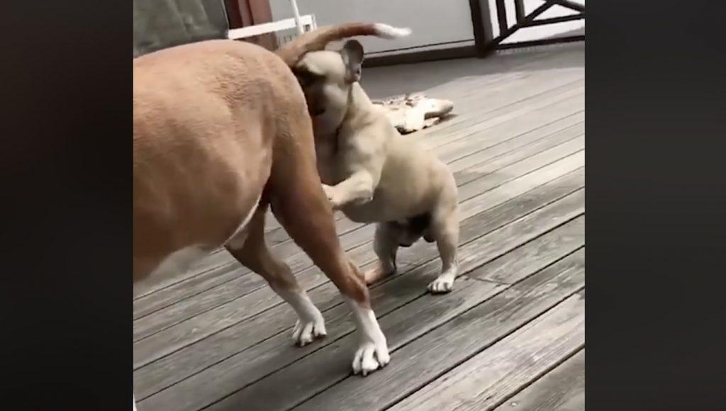 他の犬のお尻を嗅いでいたフレンチブルドッグが、大変なことになってしまう^^;