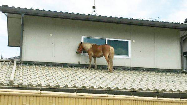 【西日本豪雨】洪水で流されたミニチュアホースが屋根の上で生きのび「奇跡的だ」と話題に!