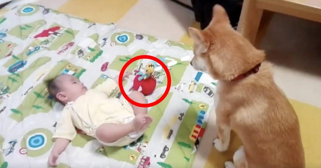 赤ちゃんのおもちゃが気になるのに、必死に我慢する犬が可愛すぎて大人気!