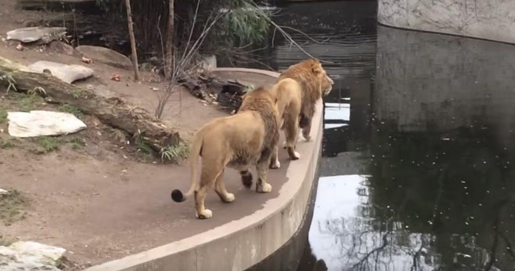 動物園で目撃されたおっちょこちょいなライオンが「可愛いらしい!」と話題に!