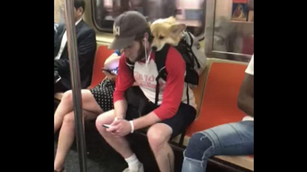 NYの地下鉄で目撃された、飼い主さんの背中でウトウトするコーギーが可愛いと話題に!