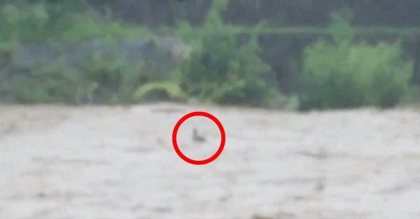 増水した鴨川に流されていく一羽のカモ。しかし、濁流に飲み込まれそうになった瞬間、ギリギリで自分の能力に気付き助かる!