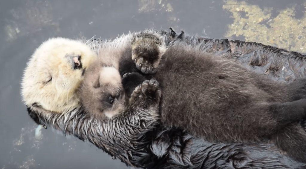 お母さんのお腹の上で眠る、生後たった1日のラッコの赤ちゃんが可愛すぎる!