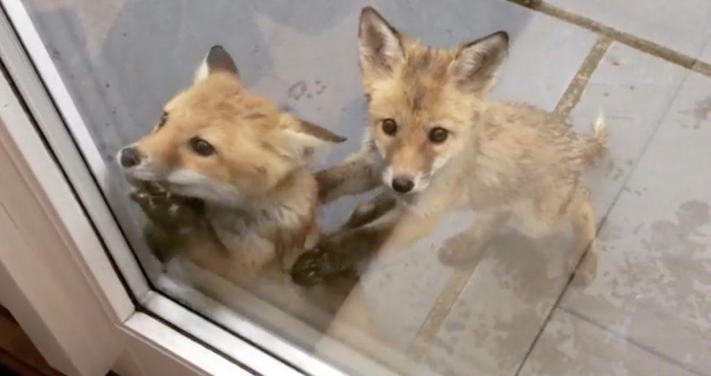 早朝のお宅にやって来た野生のいたずら子ギツネたちが超可愛い!1匹は「や、やめとけよ〜」とヒヤヒヤ^^