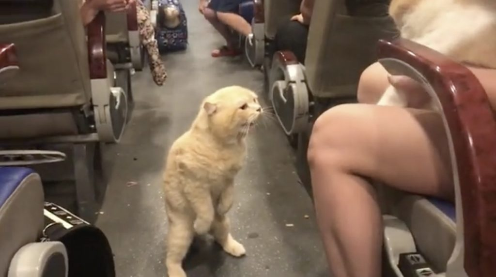 揺れるバスで二本足で立つ猫のバランス感覚の良さにびっくり!