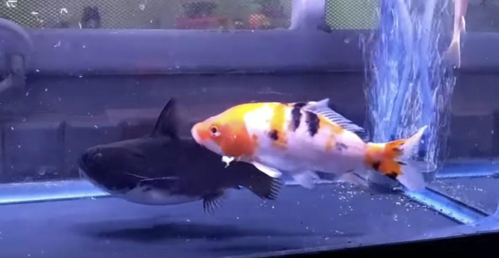 自分の体と同じくらいの大きさの錦鯉を丸飲みするナマズにびっくり!
