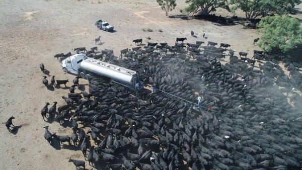 干ばつに襲われたオーストラリア。牧場に給水車が来ると、真っ黒になるほどの牛たちが集まってきた!