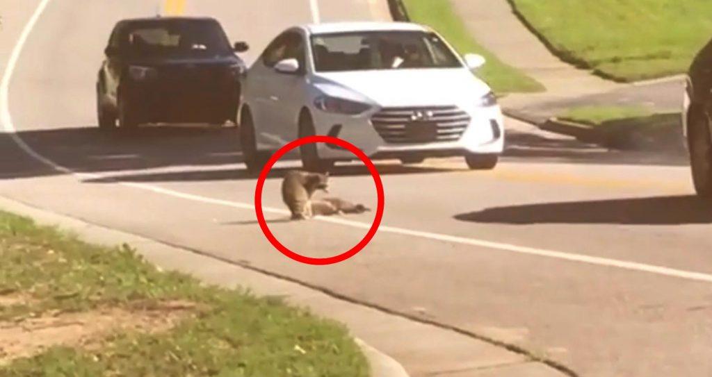 「ねぇ返事してよ。。」車に轢かれ死んでしまった仲間から離れようとしないアライグマの姿に胸が痛む