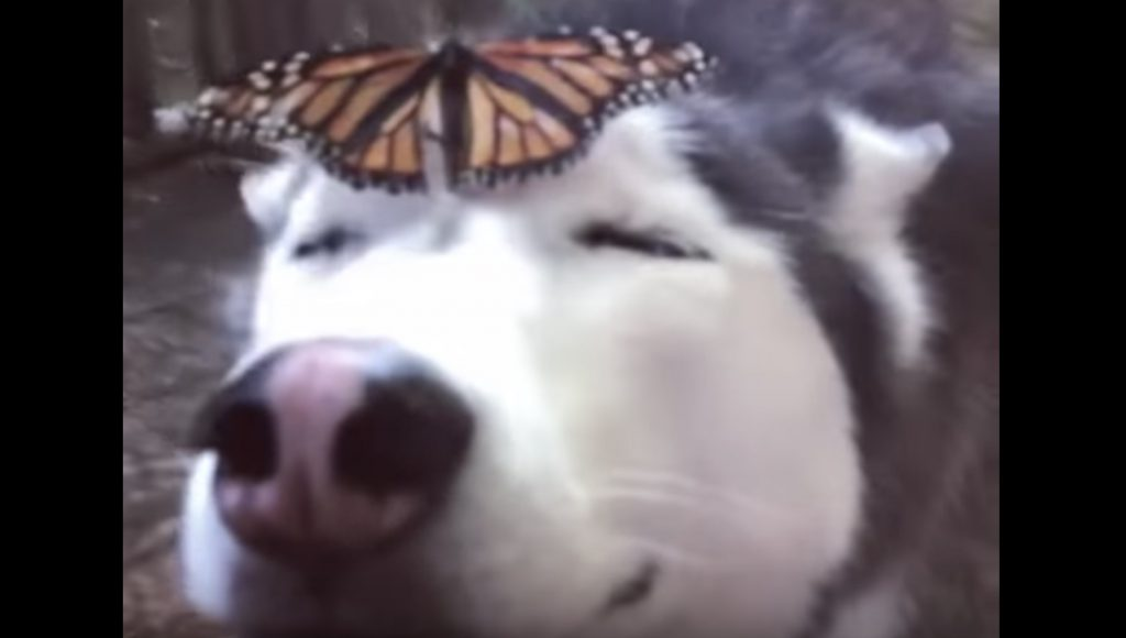 ハスキー犬の額の上に蝶が!ハスキー犬の優しいリアクションが可愛すぎる笑