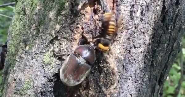 「私の場所よ!」蜜場を争う巨大スズメバチとメスカブトムシ。メスカブトの頑丈さに驚き!