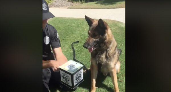 【爆笑】びっくり箱ドッキリを仕掛けられた警察犬の反応が予想外すぎ!さすが警察犬の反応^^