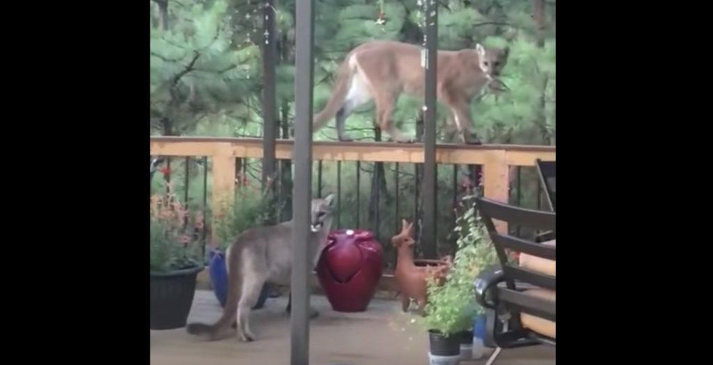 自宅にピューマがたくさんやって来た!コロラド州で撮影された貴重映像