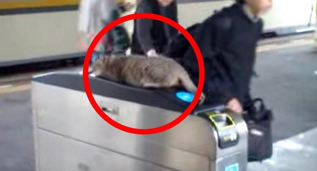改札機の上で気持ちよさそうに眠る猫。お客さんたちの対応が優しい!