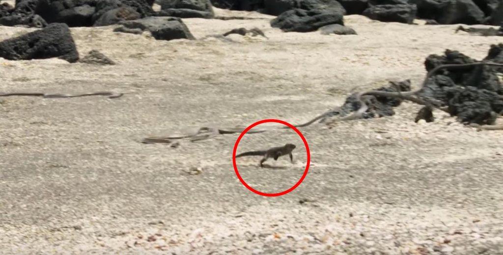 大量のヘビの巣から大脱出するイグアナの映像が、アクション映画並みにスゴい!【プラネットアース】