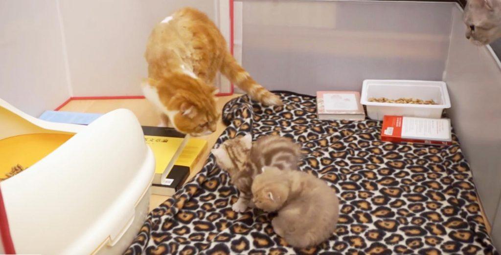 自分の赤ちゃんと初対面するも、嫌われて落ち込むパパ猫。。それを見たママ猫の行動が優しい^ ^