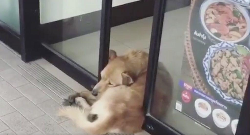 自動ドアに挟まれながらも、気持ち良さそうに眠る犬が目撃され話題に!