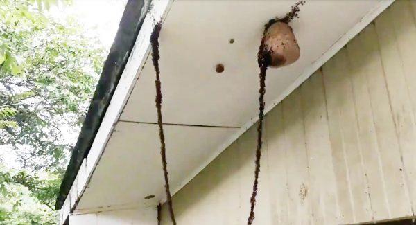 身体で巨大な架け橋を作って、スズメバチの巣を攻撃する「軍隊アリ」が目撃され、凄いと話題に!