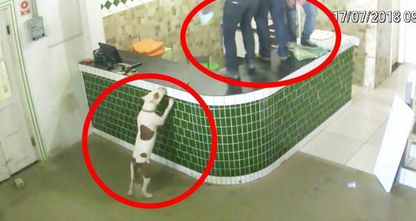 事務所に一匹のピットブル犬が乱入!フレンドリーな犬と大パニックの職員たちの映像が話題に!