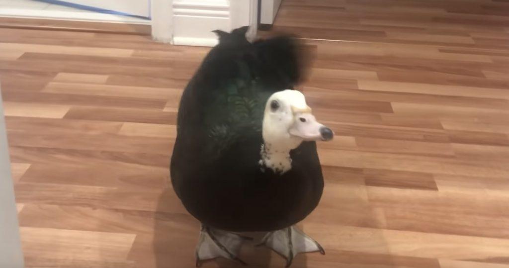 飼い主さんが帰宅すると、犬のようにお尻を振って大喜びで迎えてくれるカモが可愛い!