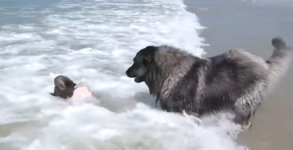 波に飲まれた少女を助ける犬が世界中で話題に!少女に危険が及ばないように見張る姿に感動!