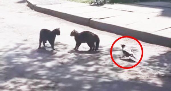 「ケンカはやめなさい!」猫同士のケンカに仲裁に入るカラスが目撃され話題に!