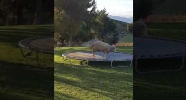 トランポリンが楽しくてしょうがない羊。夢中で遊ぶ姿が可愛いと話題に!