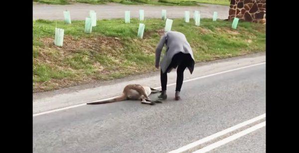 路上で死んでいたカンガルー。お腹の袋を開けると、そこには小さな命が生き残っていた!