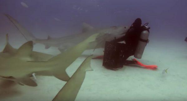 巨大なサメを眠らせてしまうダイバーが凄いと話題に!まるで催眠術のよう!
