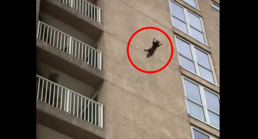 ビルの9階からアライグマが力尽きて落下!しかし驚異の身体能力を発揮する!