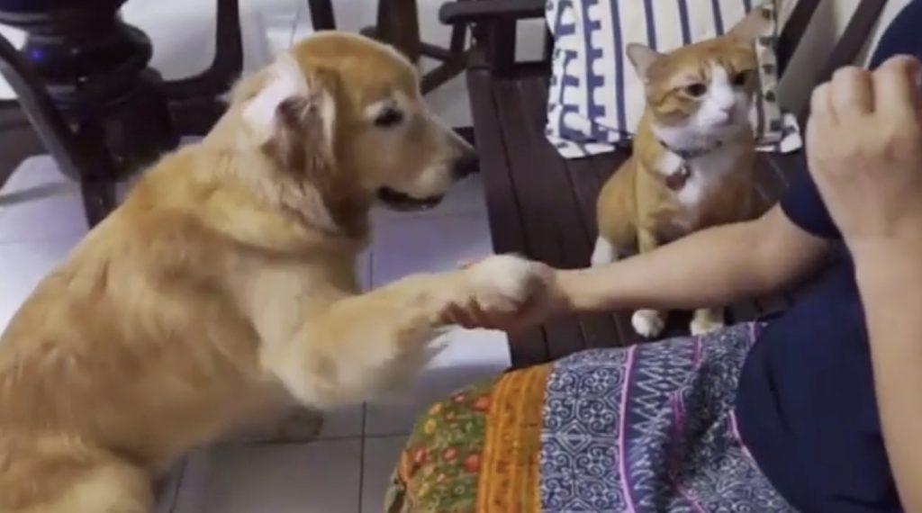 犬がお手をしてオヤツをもらっているのを見た猫。次の瞬間、マネをして可愛すぎる行動に出る笑