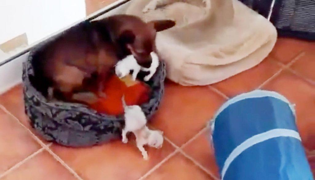 たくさんの赤ちゃん猫を育てて大忙しの犬。ちょっと目を離すとどこかへ行っちゃう^^;