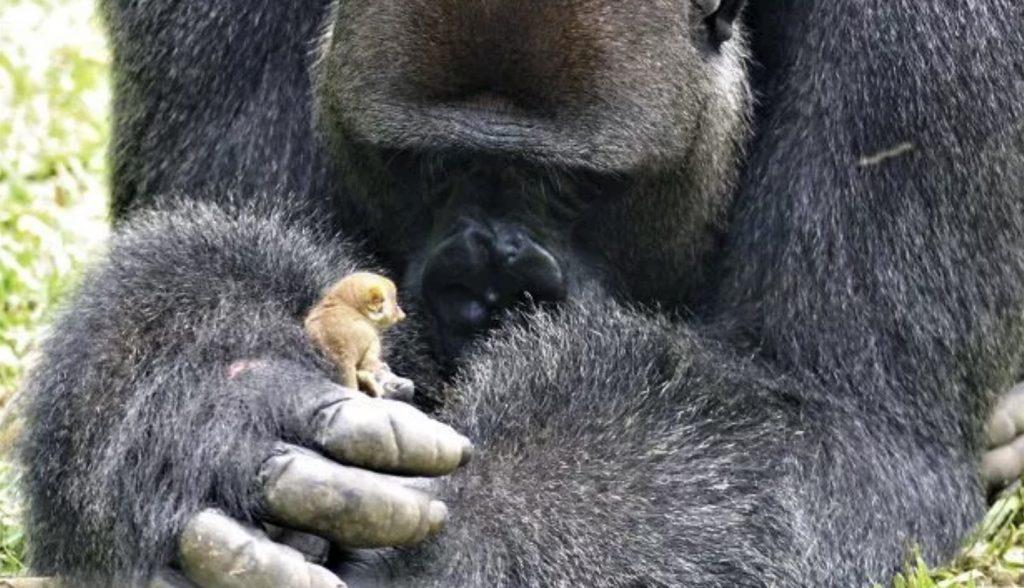 ある朝出会った200kgの巨大ゴリラと200gの小さな生き物。垣根を超えて仲良しになった姿に癒される!