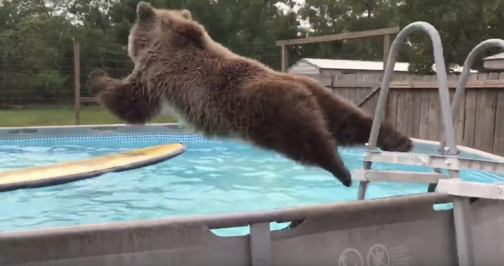 何度もプールに飛び込む熊がかわいい!まるで人間の子供みたい笑