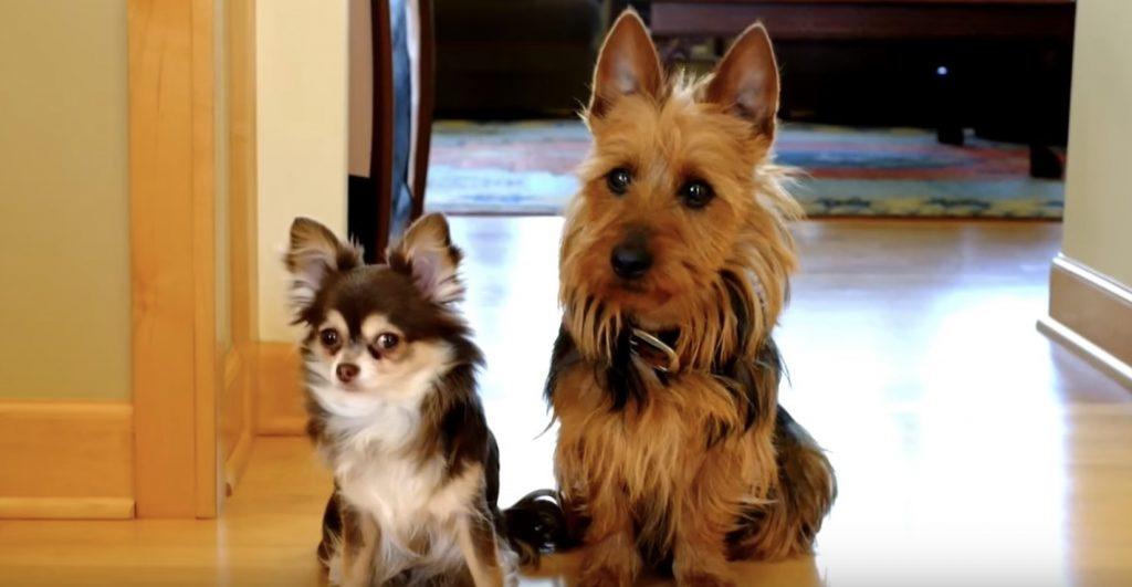 飼い主さん「キッチンをめちゃめちゃにしたのは誰?」犬「犯人はこいつです」裏切り犬が教えてくれた笑