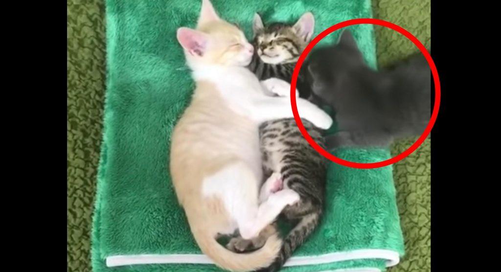 仲良く眠る2匹の子猫たちと一緒に眠りたい子猫の行動が可愛すぎる笑
