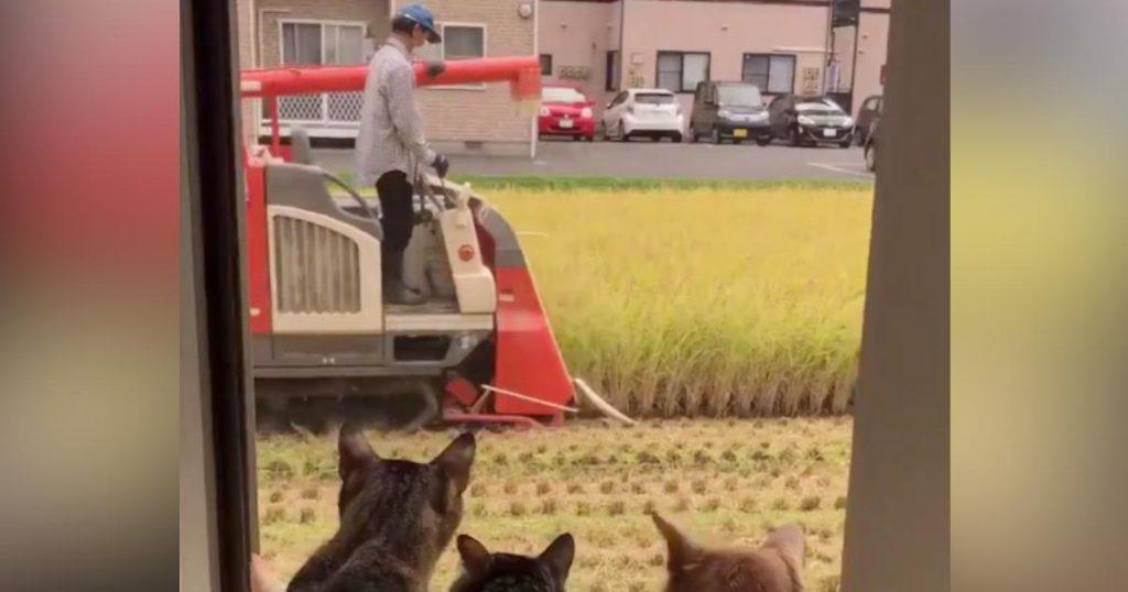 稲刈りの季節。赤いコンバインが通過したら、猫がいっぱい集まってきた笑