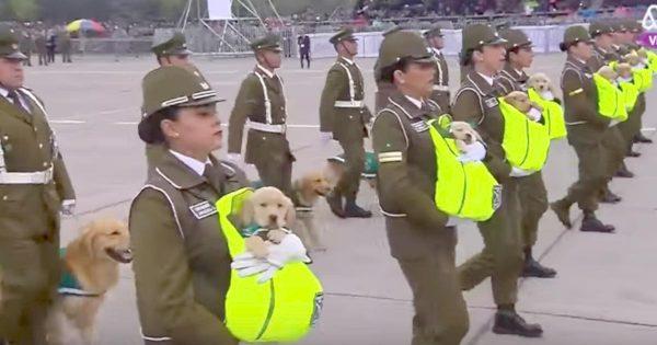 警察犬のたまごの大行進が超可愛い!チリの軍事パレードの犬の大行進にキュン!