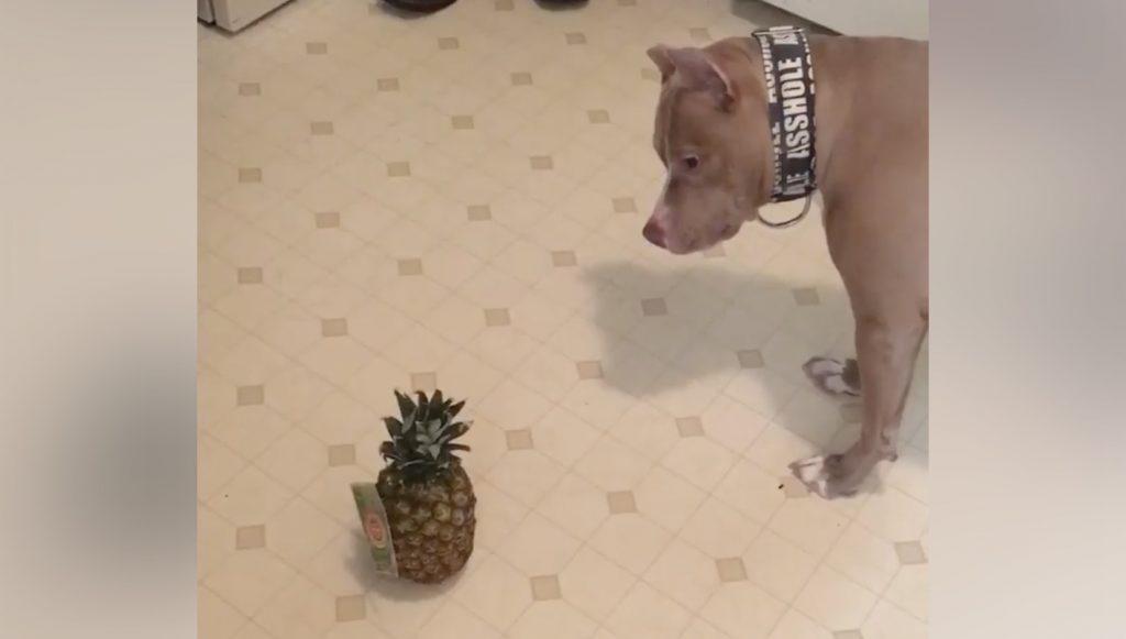ピットブル犬にパイナップルを見せたリアクションが可愛すぎて話題に!