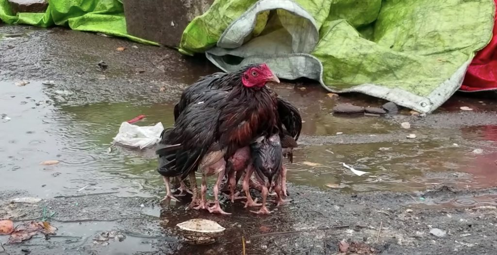 雨の中、ヒナたちを守る母ニワトリが話題に!「本物の母親の愛だ」との声
