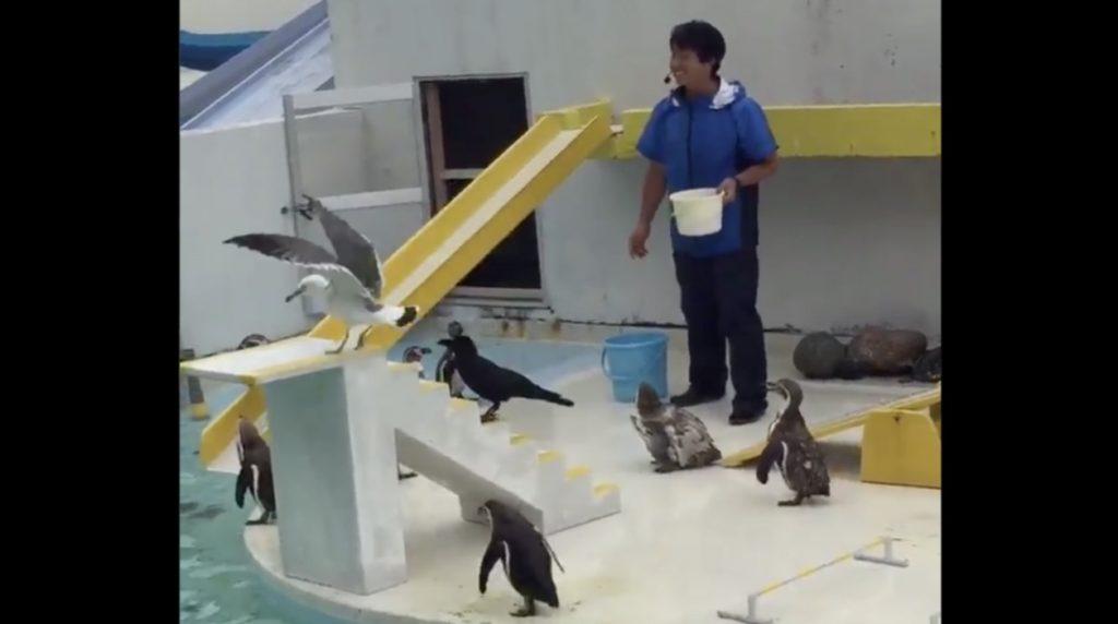 グダグダすぎるペンギンショーに爆笑!やる気がなさすぎて、コントみたいなことになっている笑 カラスやカモメも混ざっているし笑