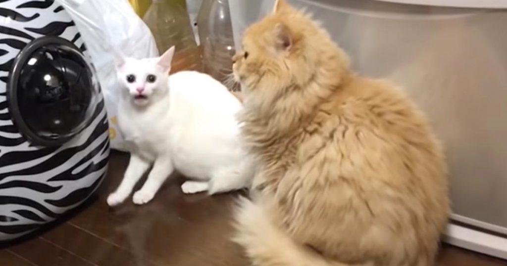 1歳になるまで他の猫を見たことが無く、自分のことを人間だと思っていた猫。初めて他の猫を見た反応が話題に!
