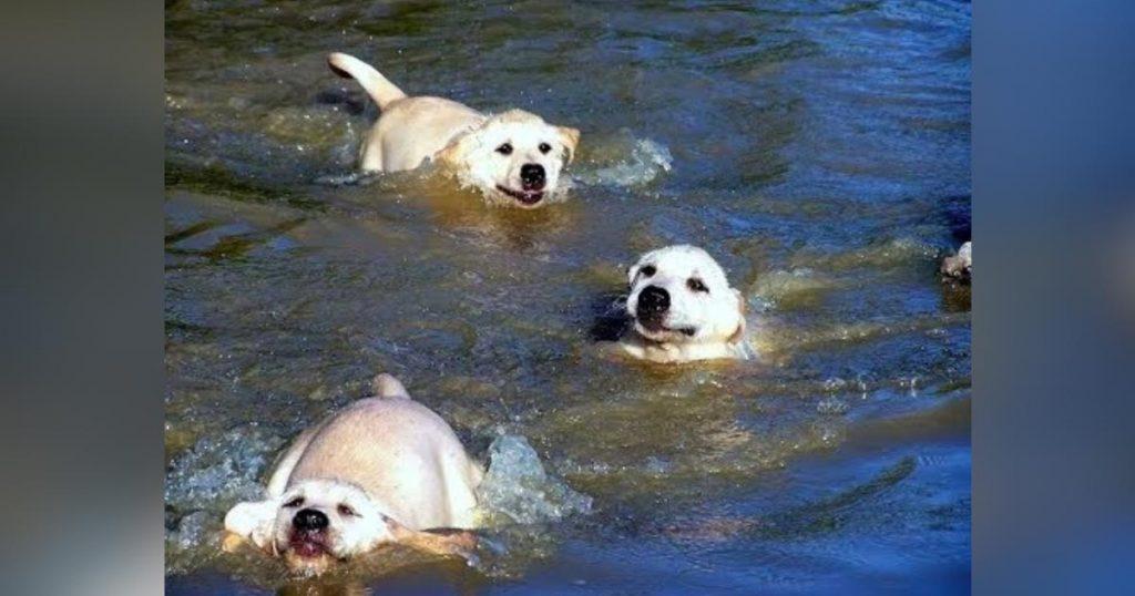 パパに泳ぎ方を教えてもらう子犬たち。必死にパパについて行こうとする姿にキュン!