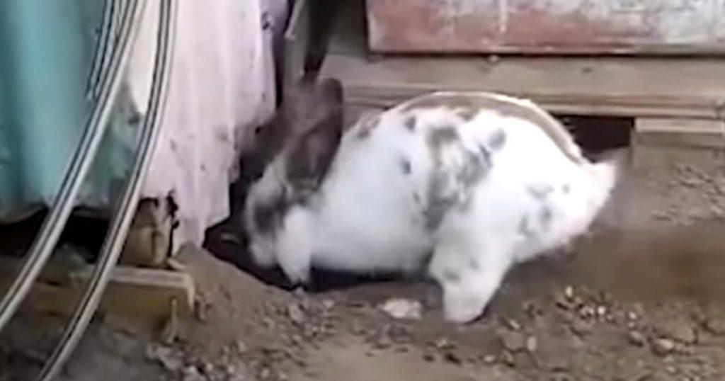 息を切らしながら閉じ込められた異種の「親友」を必死に救出するウサギが話題に!その後「親友」は感謝の気持ちを伝えた!