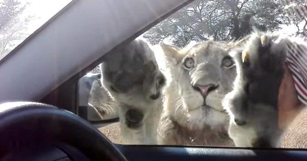 「一緒に遊ぼうよ」車の窓越しにライオンが大接近!興味津々で車内を見つめる姿が可愛すぎる!